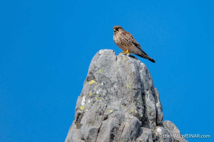 Kestrel - Madeira - The Hall of Einar - photograph (c) David Bailey (not the)