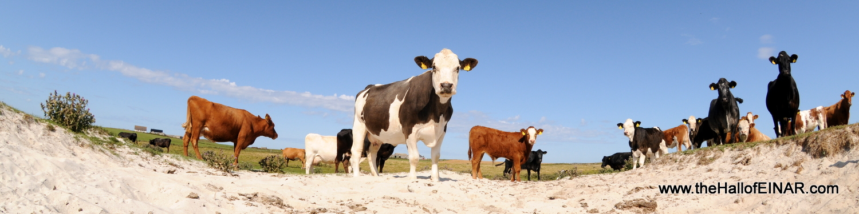 Cattle Panorama