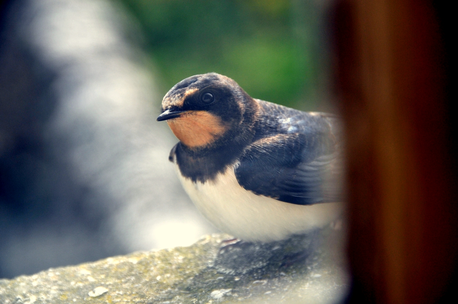 Young Swallow