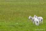 Lamb Chops