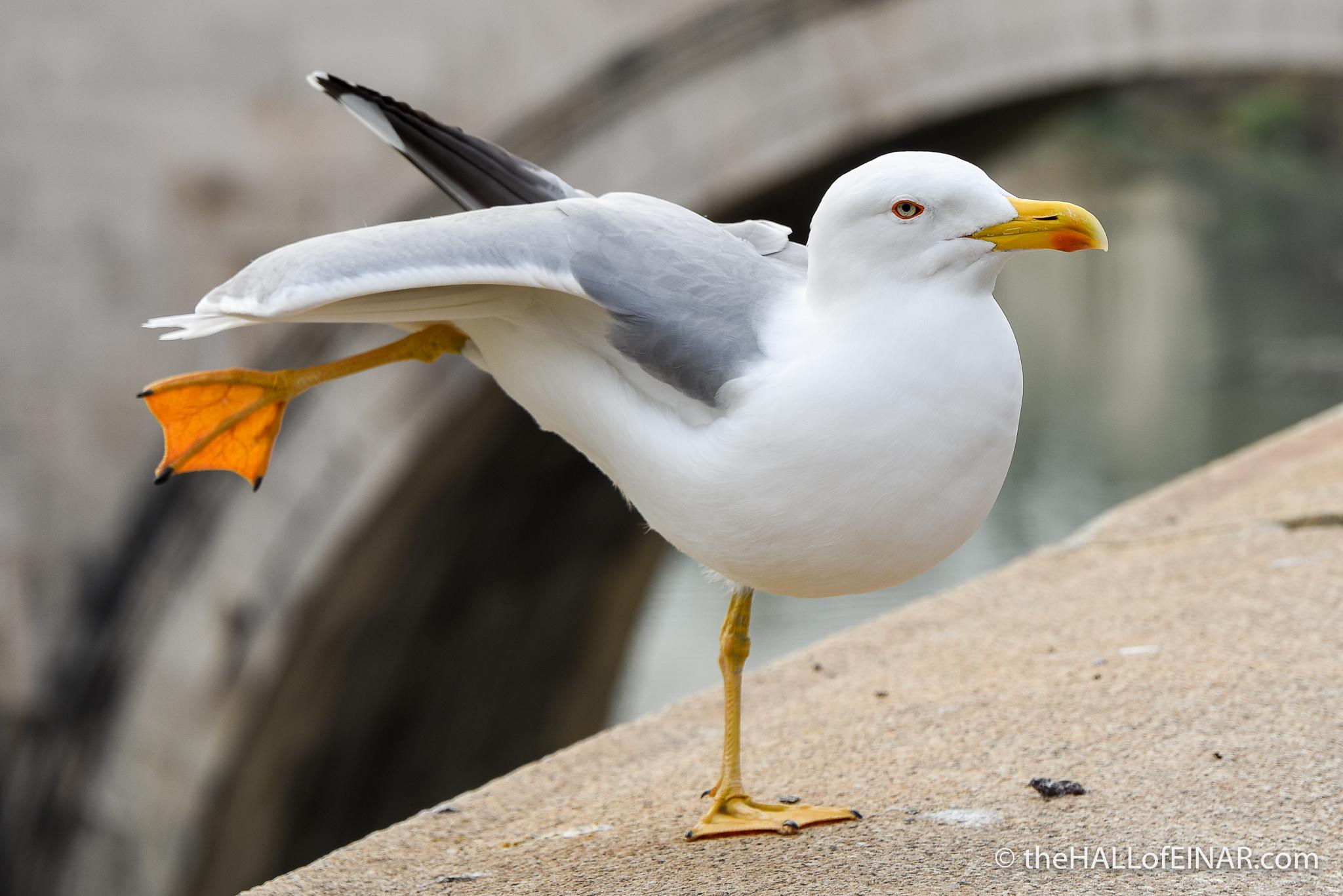 Yellow-Legged Gull - The Hall of Einar - photograph (c) 2016 David Bailey (not the)