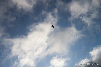 A Raven circles