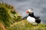 Puffin at the Castle o' Burrian on Westray - photograph (c) David Bailey 2016