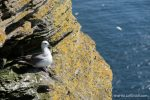 Fulmar at Noup - photograph (c) 2016 David Bailey (not the)