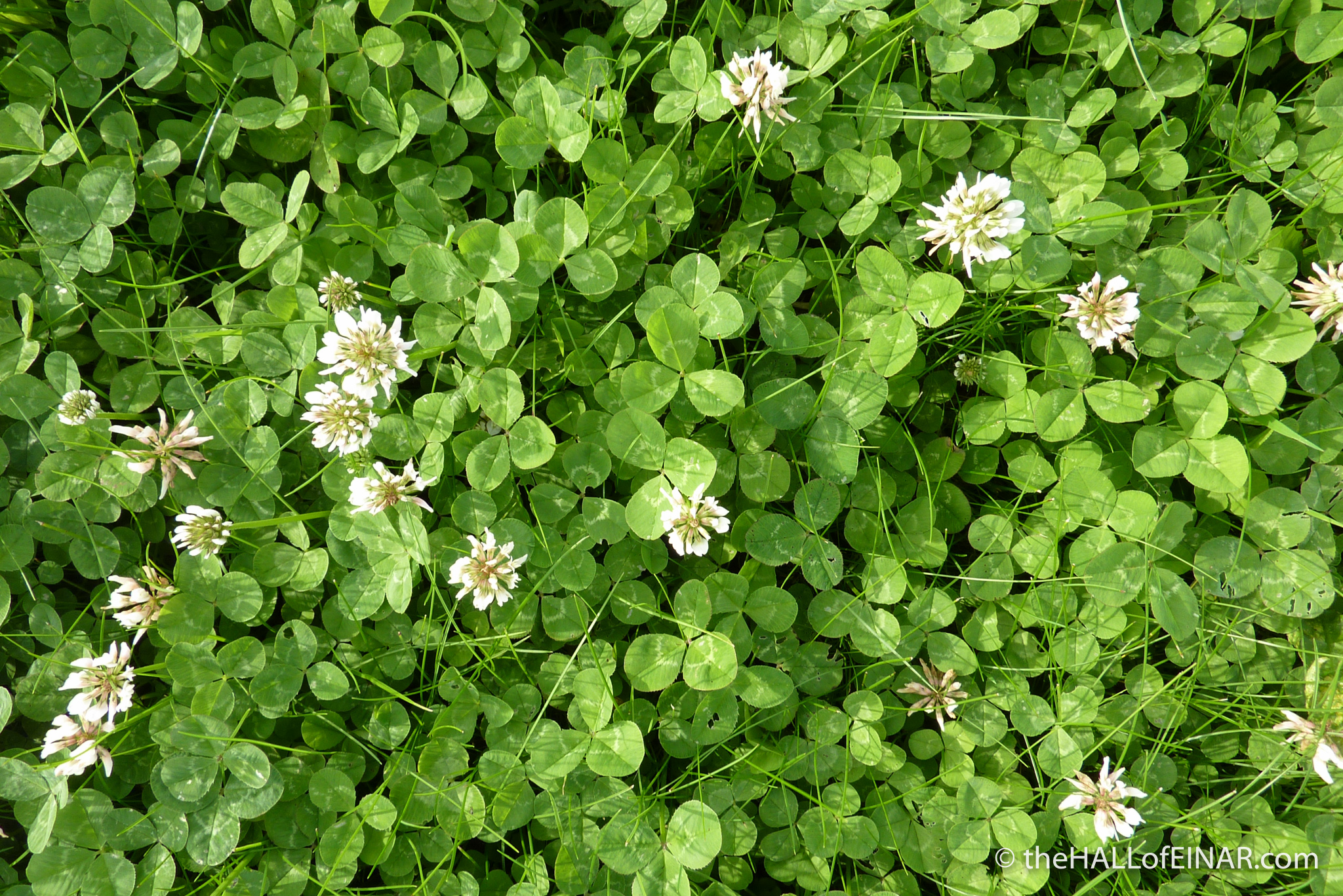Rolling in the clover - photograph (c) 2016 David Bailey (not the)