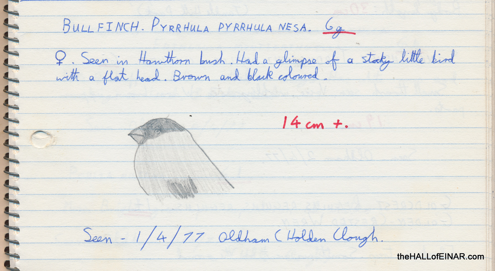 Bullfinch - 1970s Nature Notebooks - The Hall of Einar