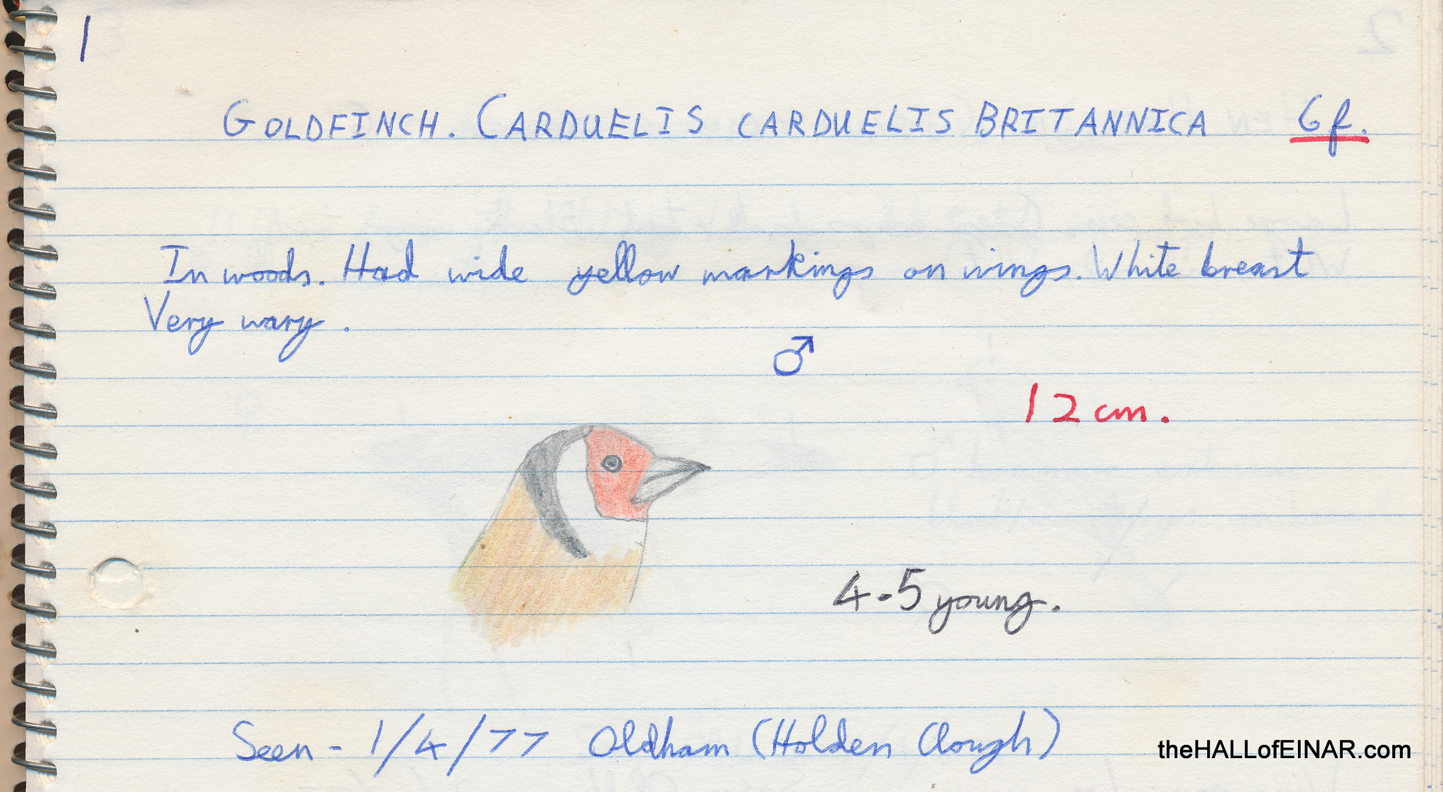 Goldfinch - 1970s Nature Notebooks - The Hall of Einar