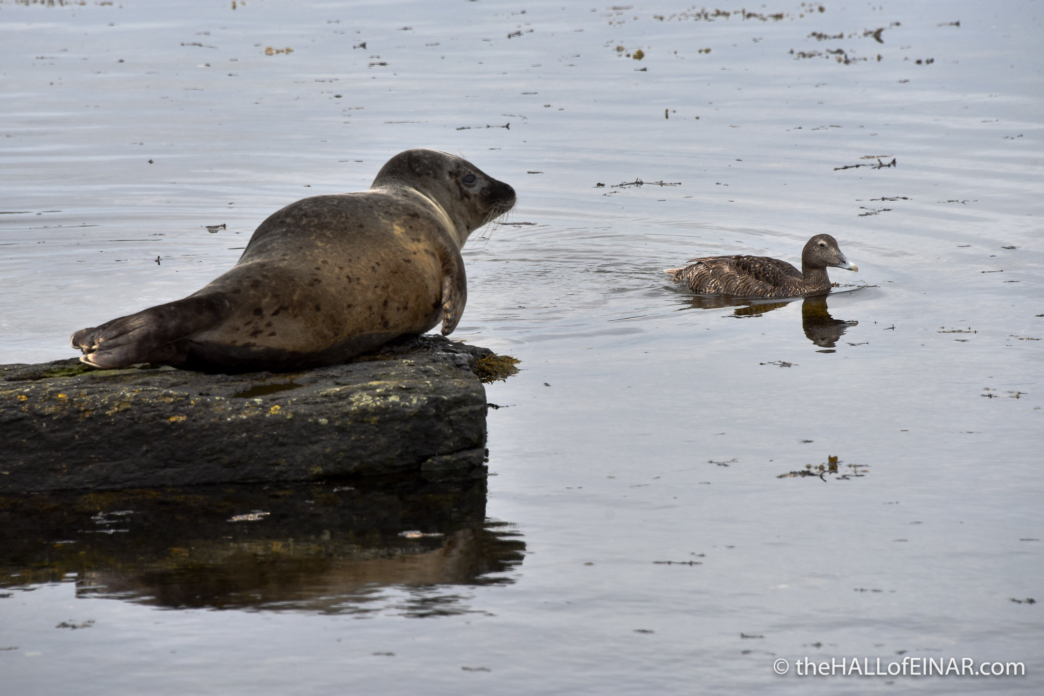 Seal and Eider Duck - The Hall of Einar - photograph (c) David Bailey (not the)