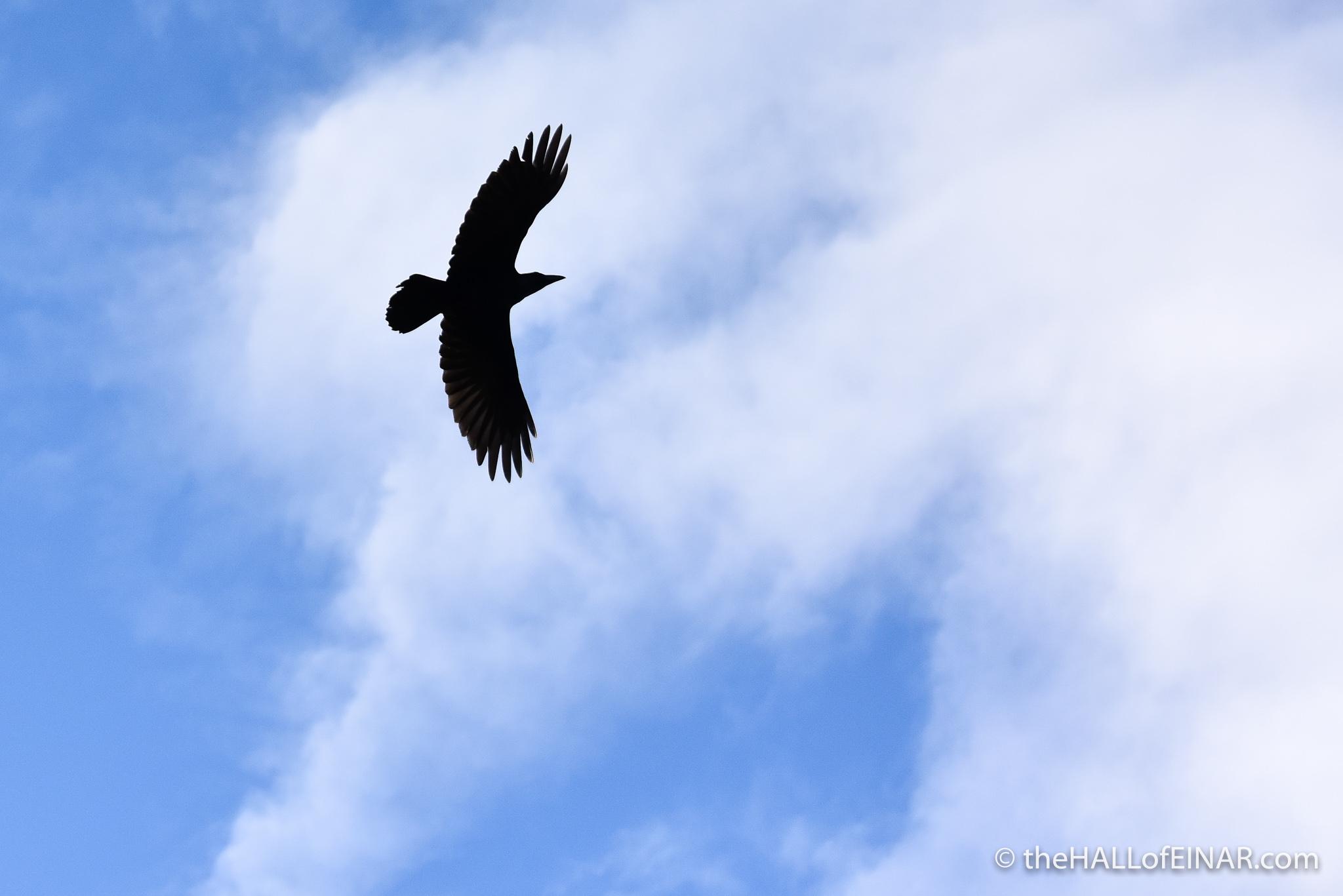 Raven over Einar - photograph (c) 2016 David Bailey (not the)