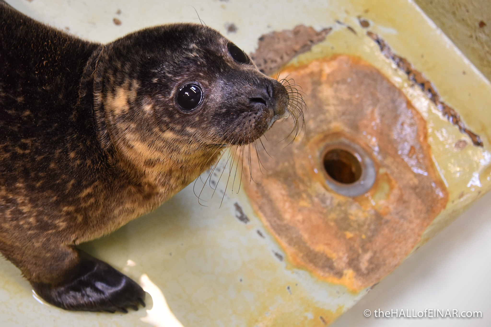 Orkney Seal Rescue - photograph (c) David Bailey (not the)
