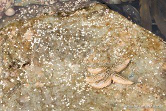 Common Starfish - photograph (c) 2016 David Bailey (not the)