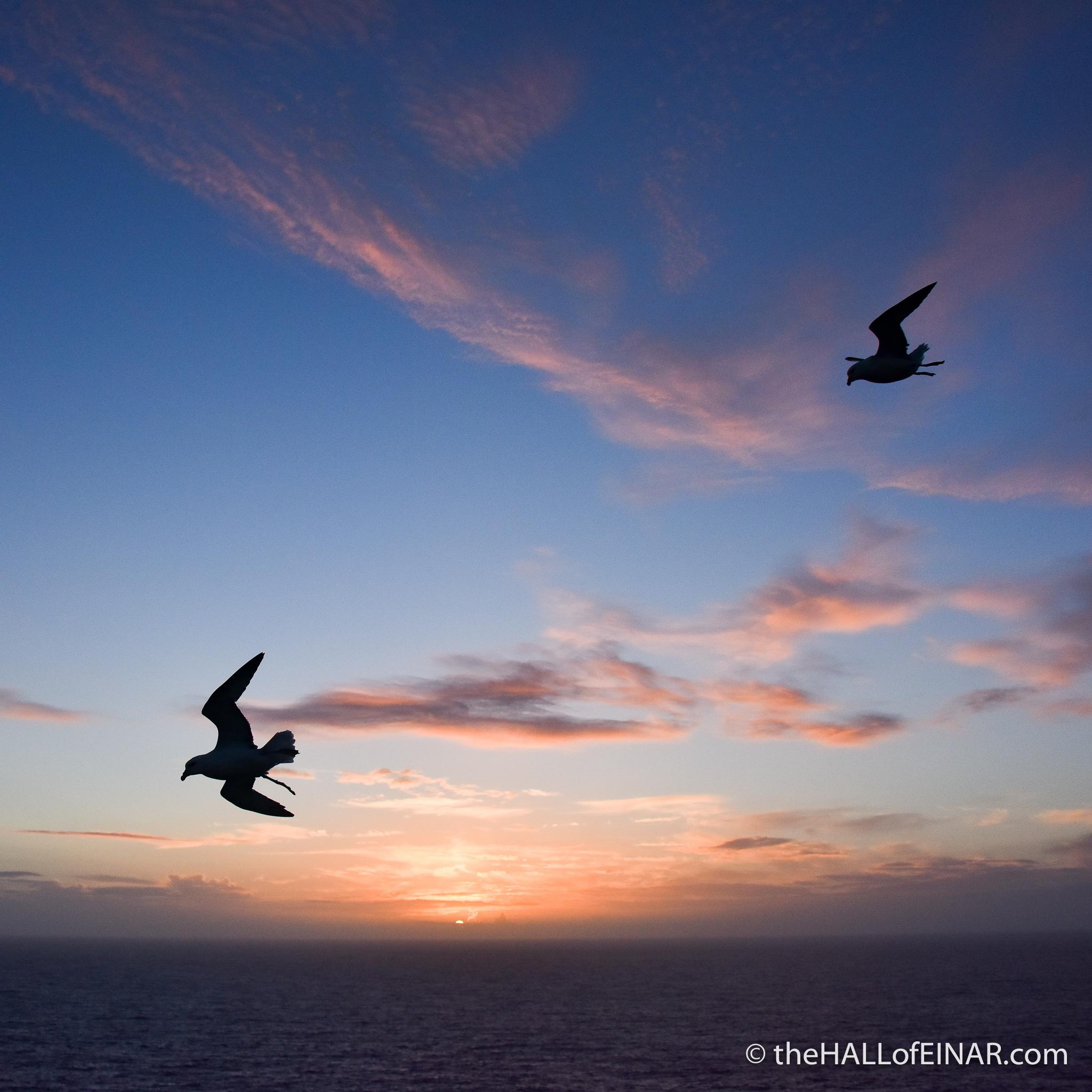 Sunset Fulmars - photograph (c) David Bailey (not the)