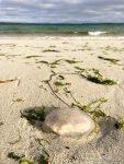 Jellyfish - photograph (c) David Bailey (not the)