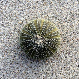 Green Sea Urchin - The Hall of Einar - photograph (c) 2016 David Bailey (not the)
