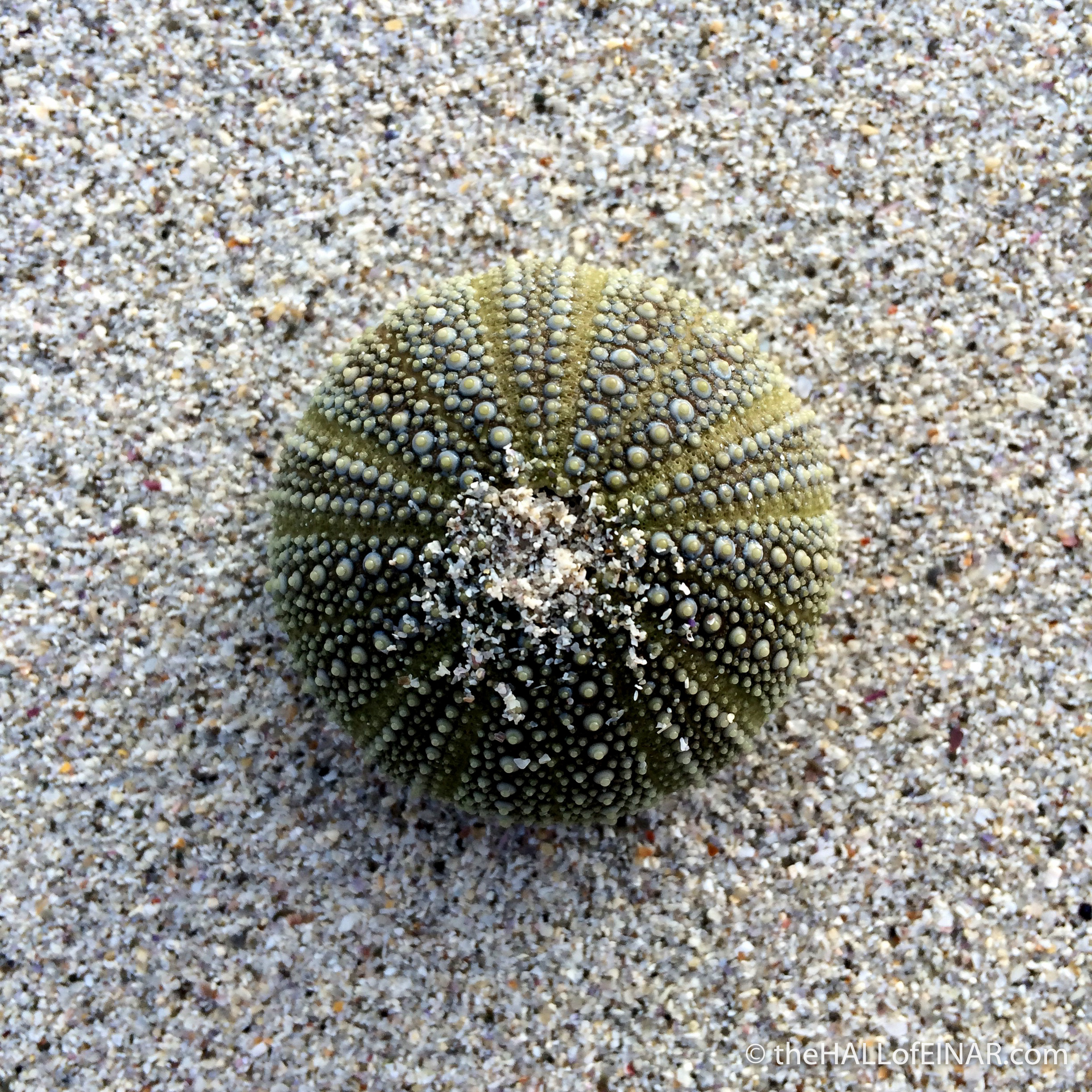 Green Sea Urchin - The Hall of Einar - photograph (c) 2016 David Bailey (not the)