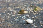 Dog Whelk - photograph by David Bailey (not the)