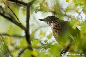 Song Thrush - The Hall of Einar - photograph (c) 2016 David Bailey (not the)