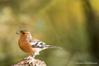 Chaffinch - The Hall of Einar - photograph (c) 2016 David Bailey (not the)
