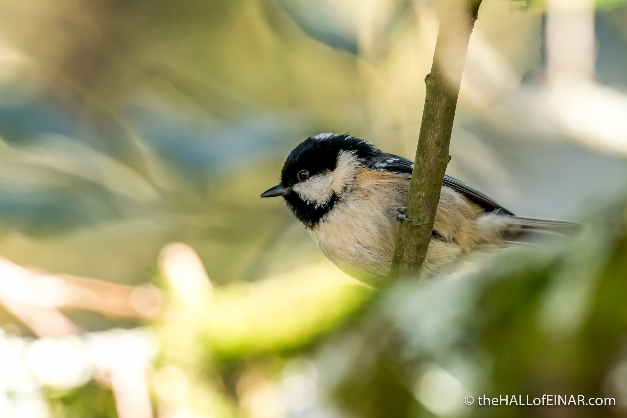 Coal Tit - 1970s Nature Notebooks - The Hall of Einar