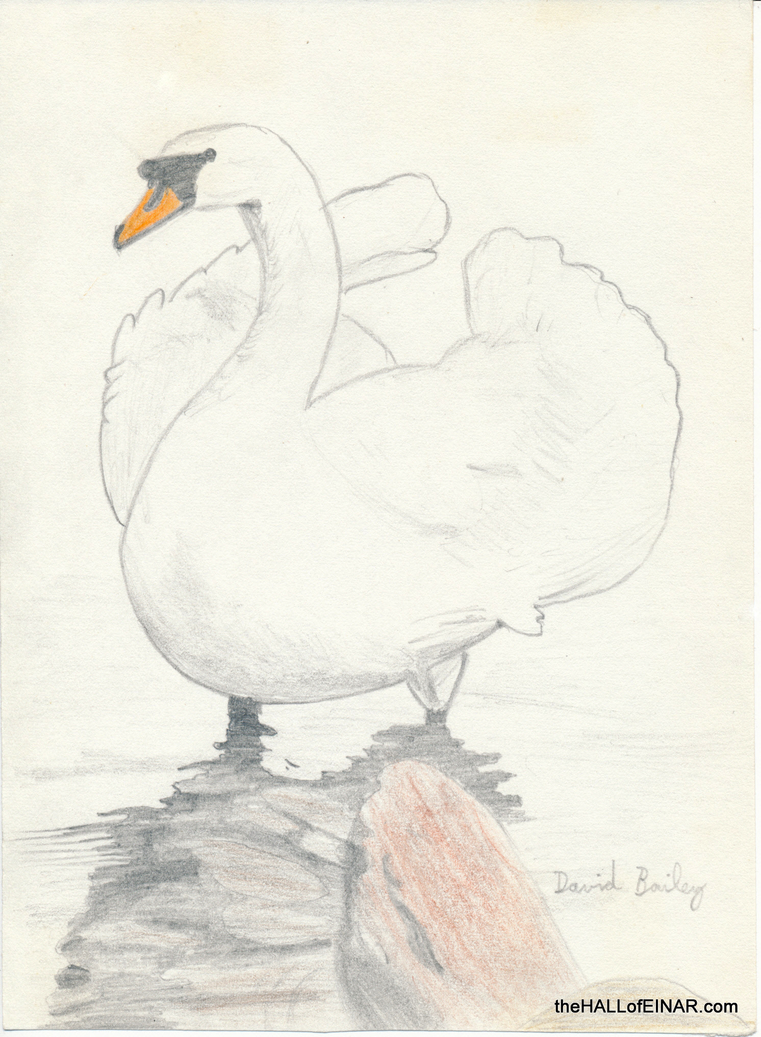 Mute Swan - The Hall of Einar - photograph (c) 2016 David Bailey (not the)