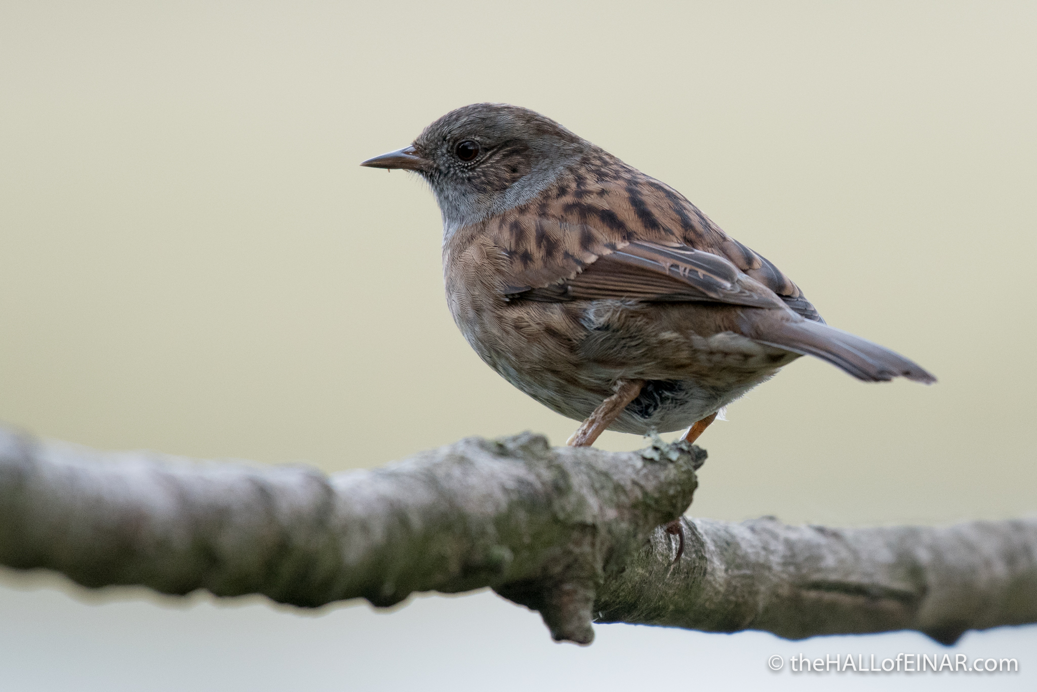Dunnock - The Hall of Einar - photograph (c) 2016 David Bailey (not the)