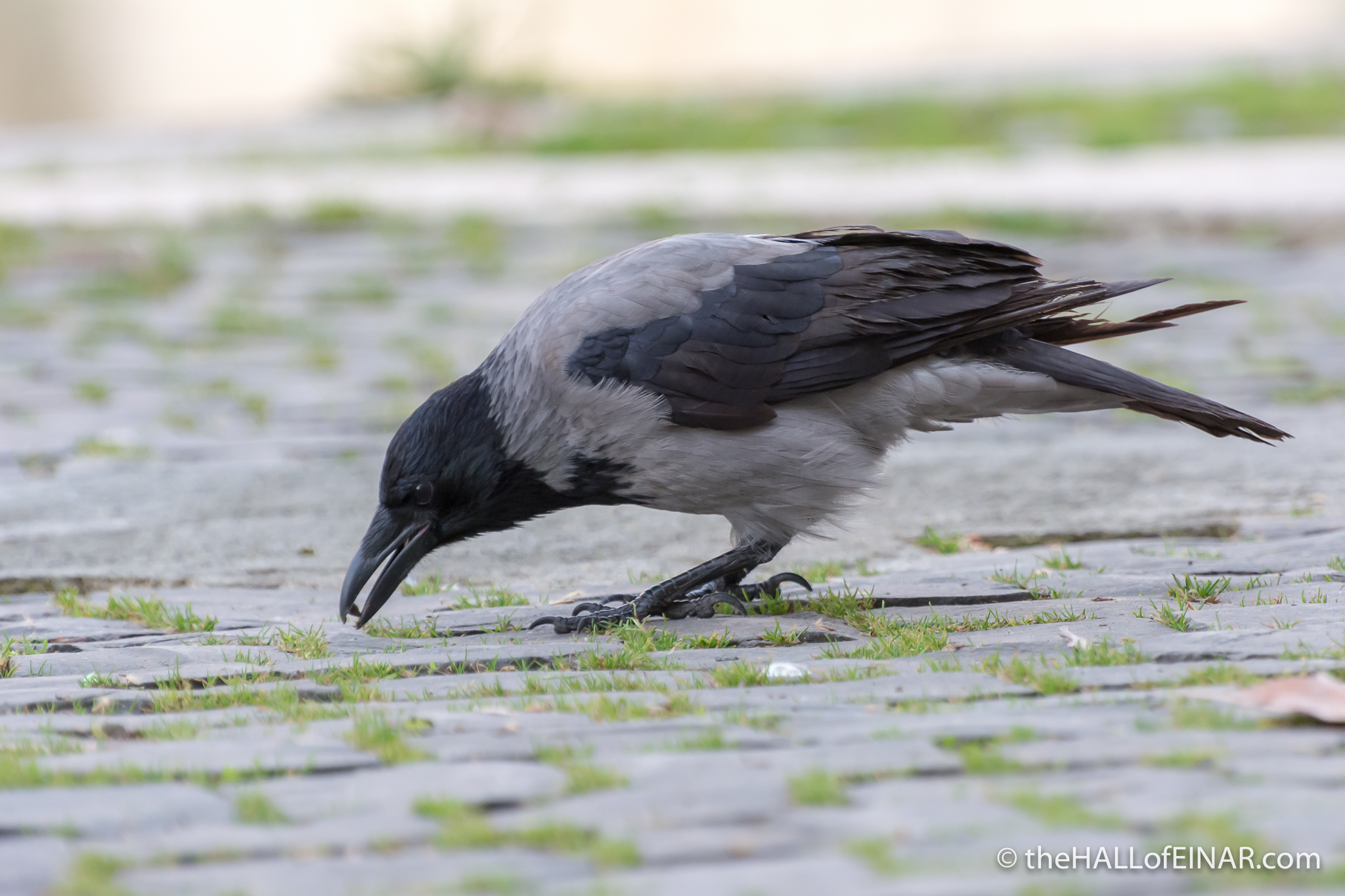 Hooded Crow - The Hall of Einar - photograph (c) David Bailey (not the)