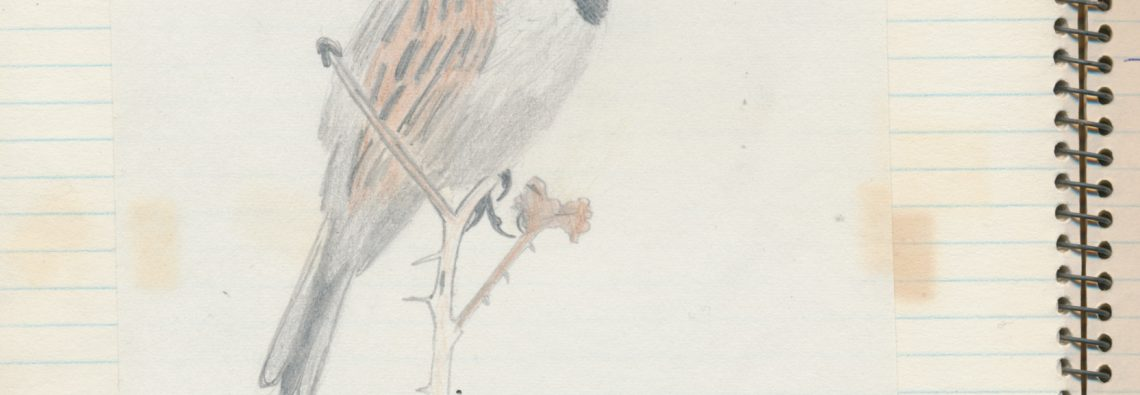 Reed Bunting text - The Hall of Einar - (c) David Bailey (not the)