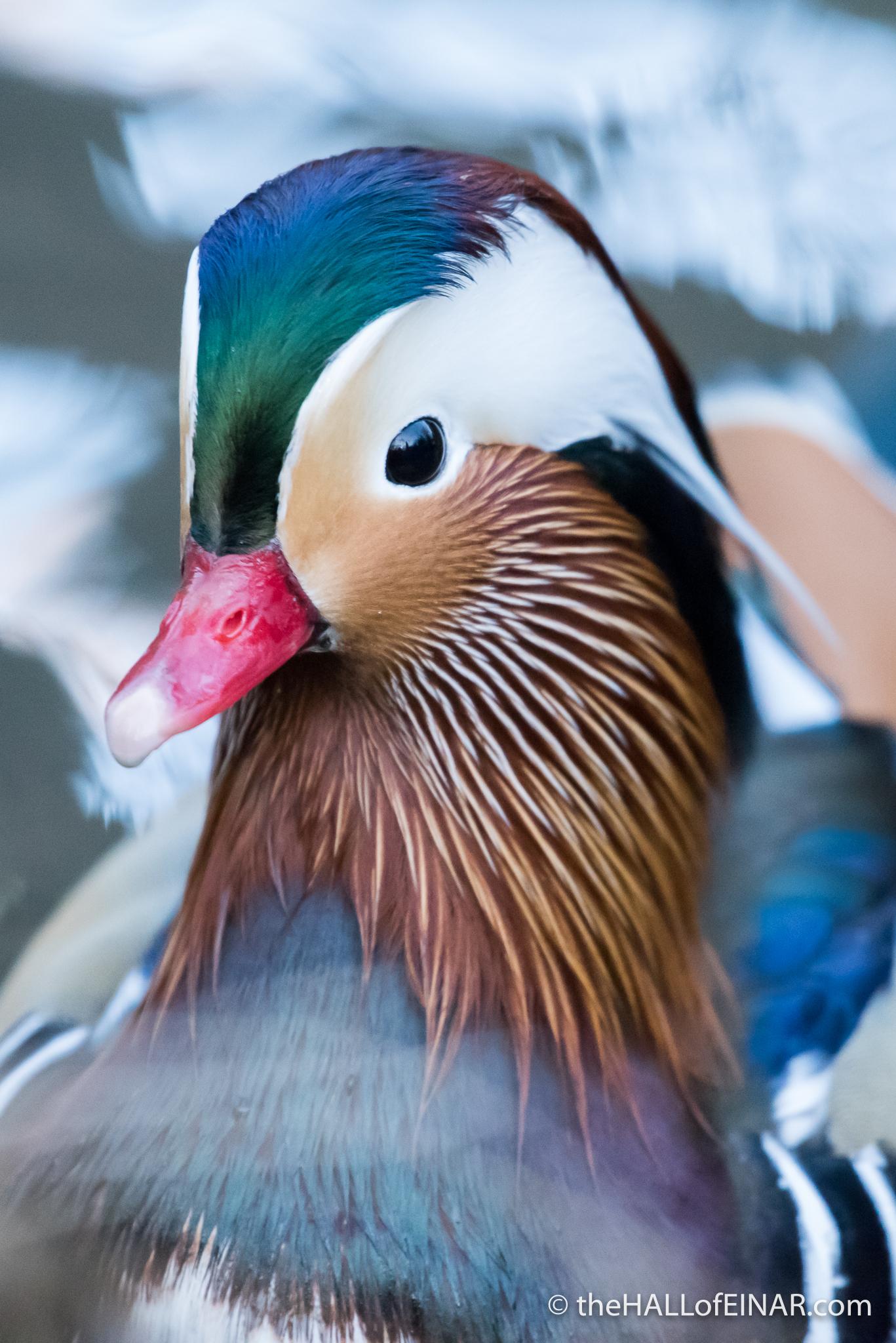 Mandarin Duck - The Hall of Einar - photograph (c) David Bailey (not the)