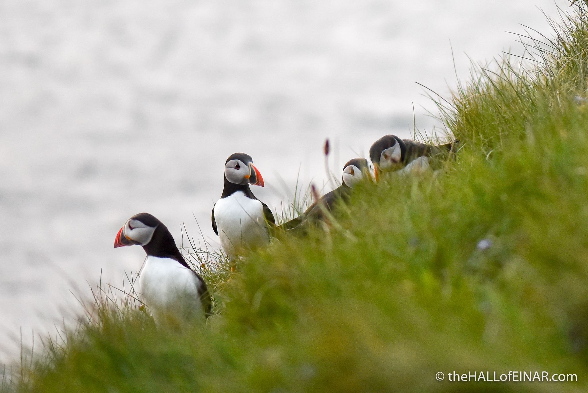 Puffins on Westray - The Hall of Einar - photograph (c) David Bailey (not the)
