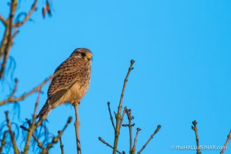Kestrel in the treetops - The Hall of Einar - photograph (c) David Bailey (not the)