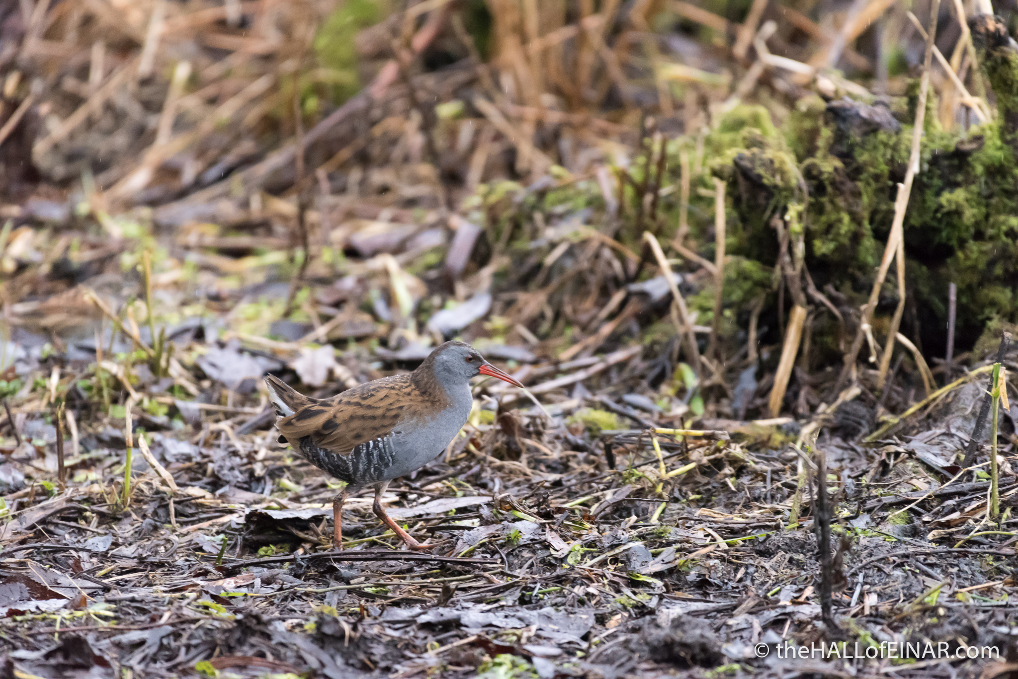 Water Rail - The Hall of Einar - photograph (c) David Bailey (not the)