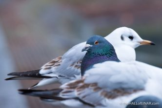 Feral Pigeon and Black Headed Gull - The Hall of Einar - photograph (c) David Bailey (not the)