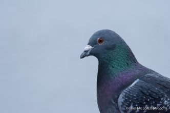 Feral Pigeon - The Hall of Einar - photograph (c) David Bailey (not the)