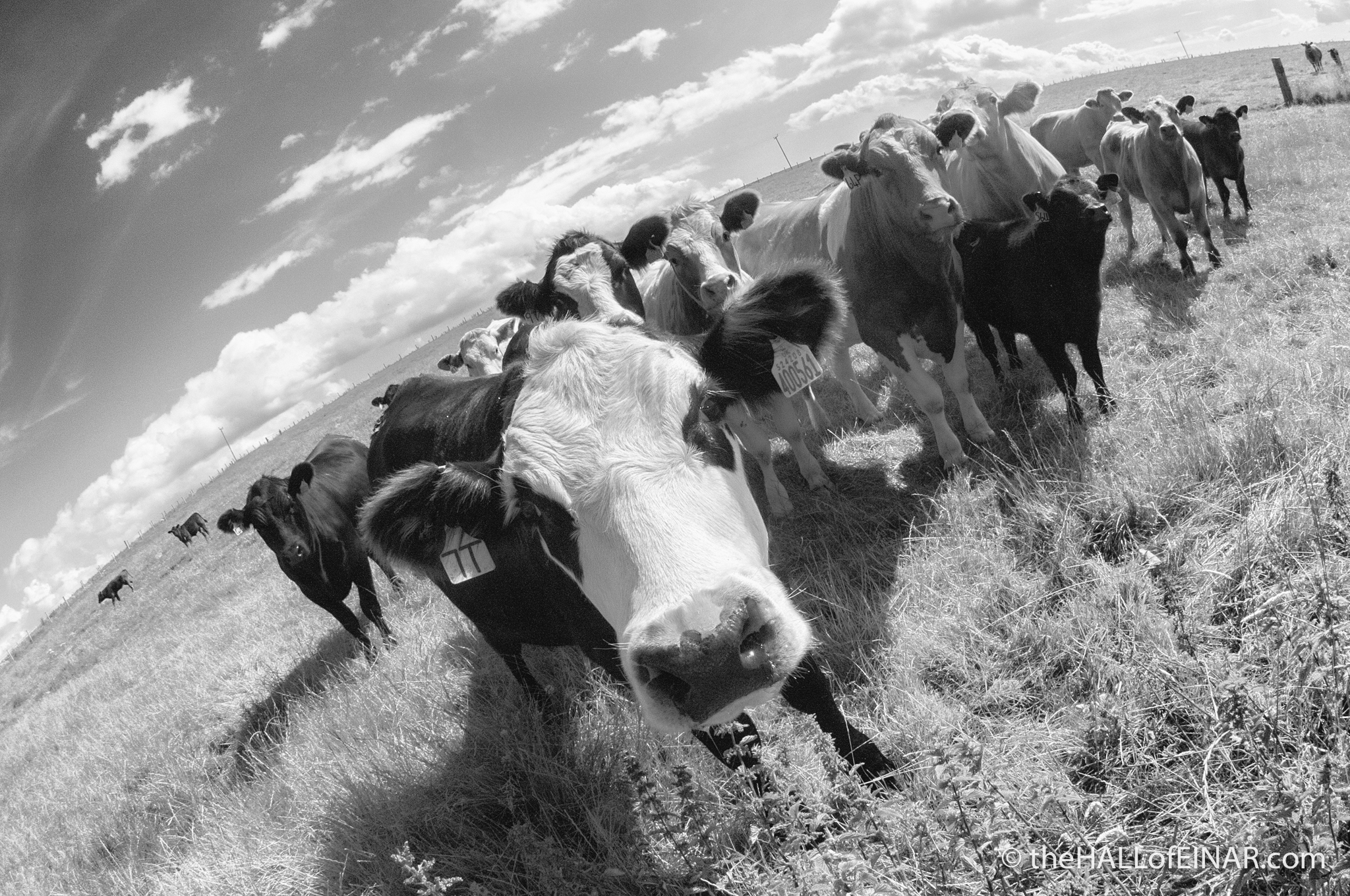 Leader of the herd - The Hall of Einar - photograph (c) David Bailey (not the)