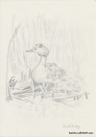 Great Crested Grebe - The Hall of Einar - (c) David Bailey (not the)