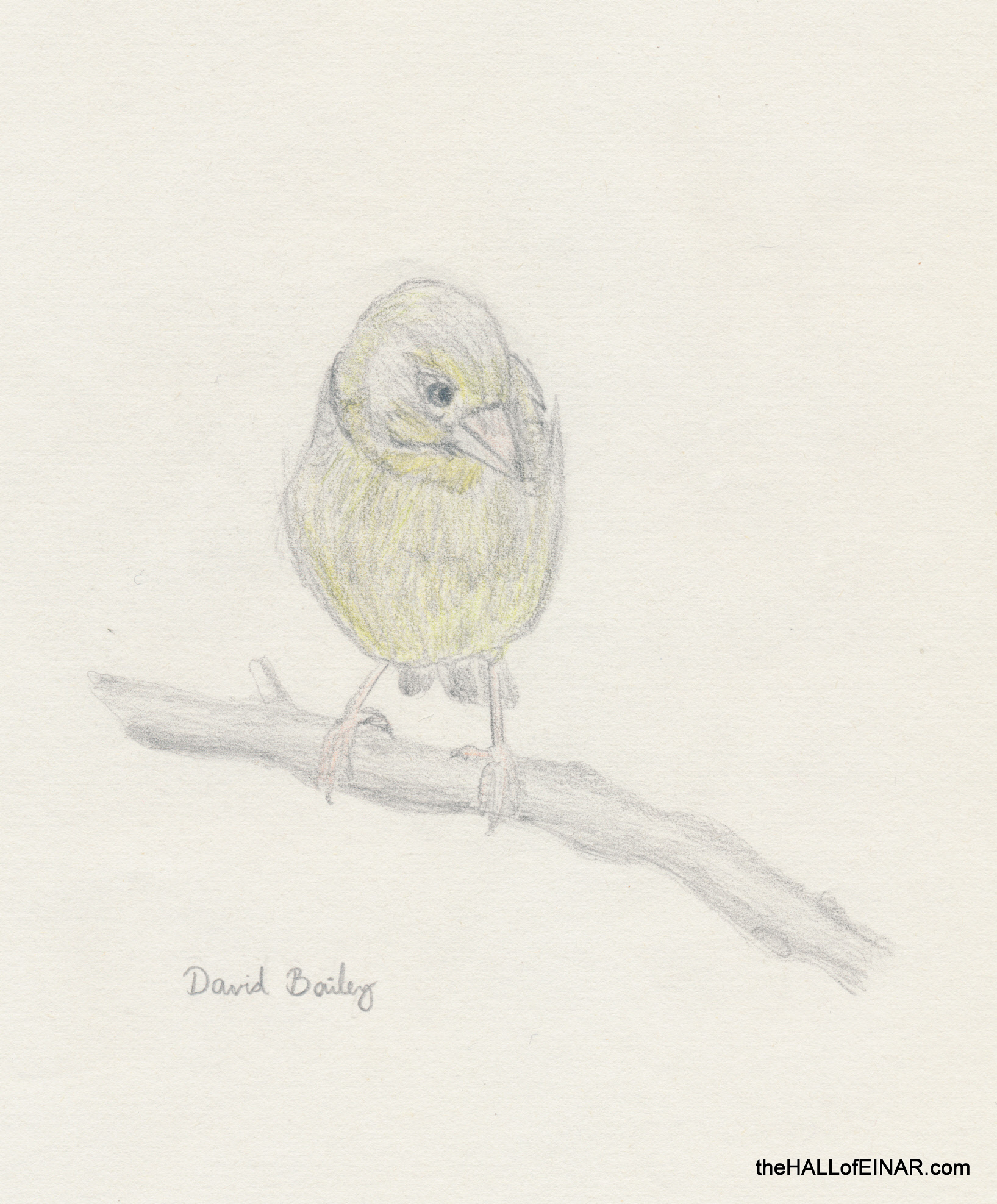 Greenfinch - The Hall of Einar - (c) David Bailey (not the)