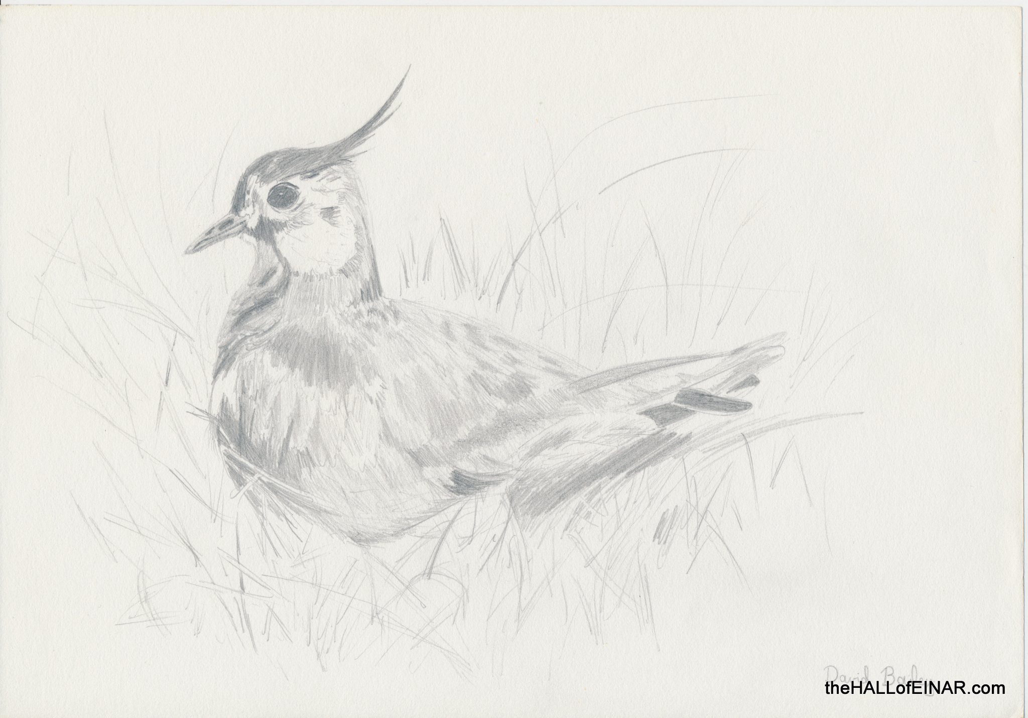 Lapwing - The Hall of Einar - (c) David Bailey (not the)