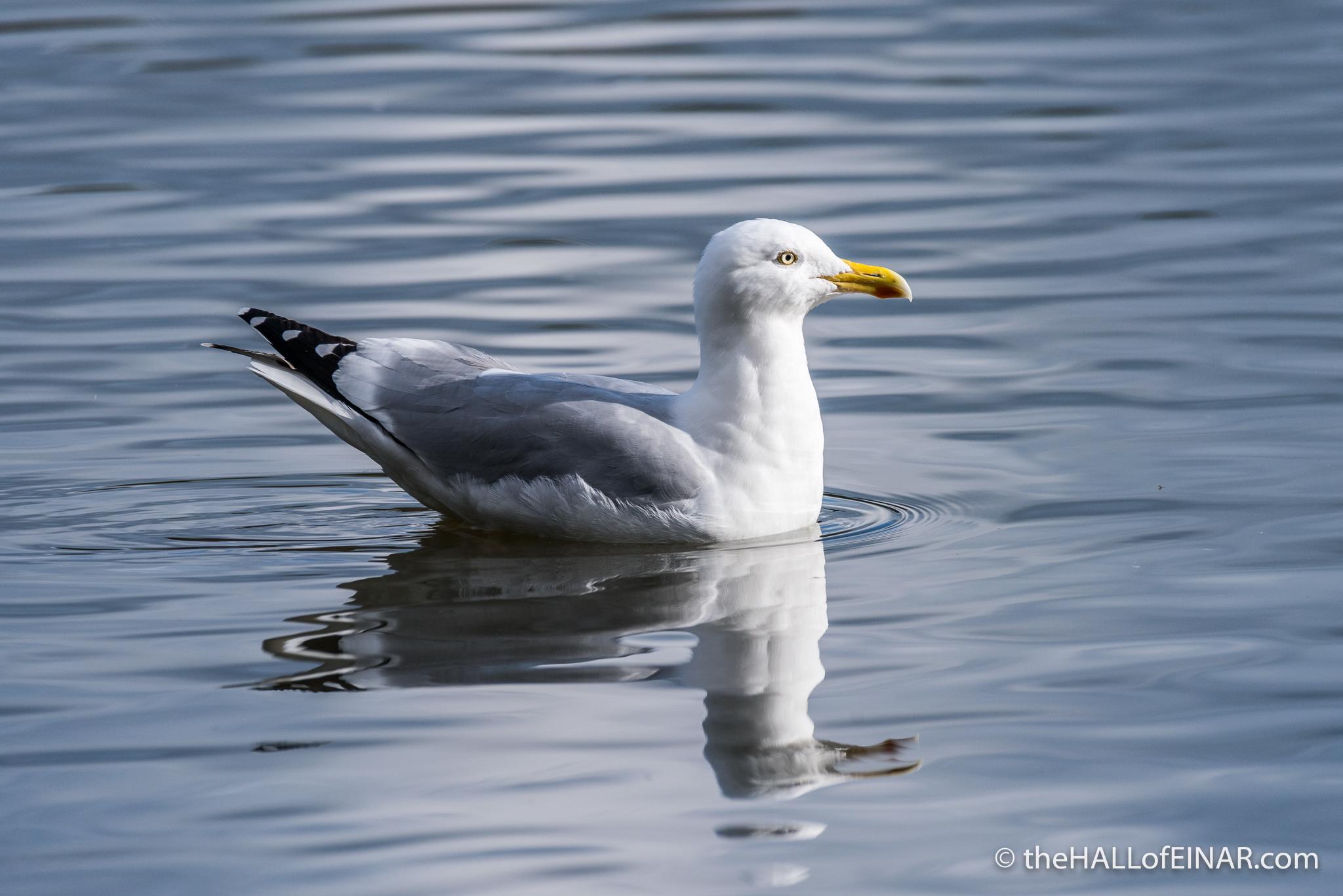 Herring Gull - The Hall of Einar - photograph (c) 2016 David Bailey (not the)