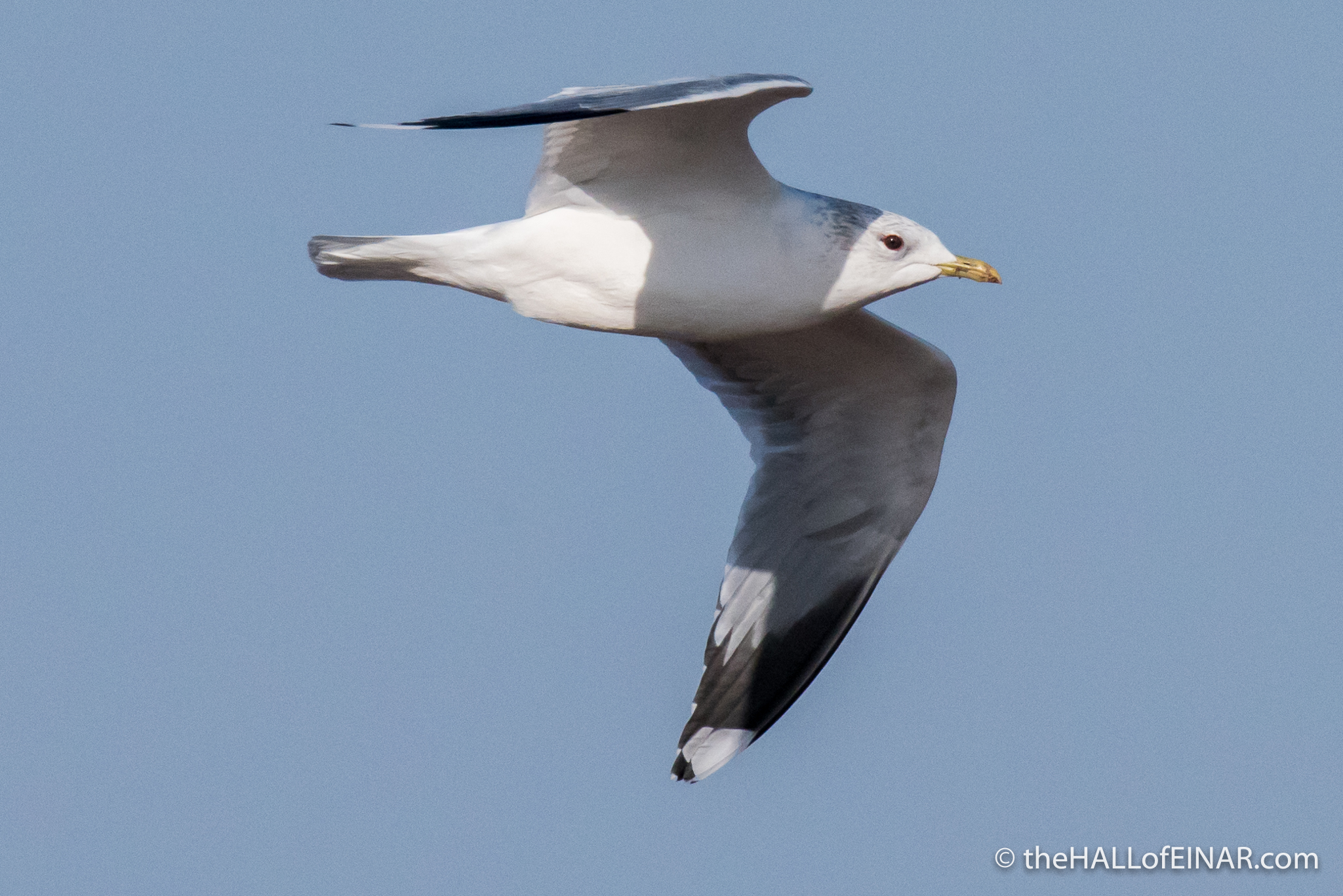 Common Gull - The Hall of Einar - photograph (c) David Bailey (not the)