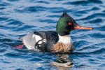 Red-Breasted Merganser - The Hall of Einar - photograph (c) David Bailey (not the)