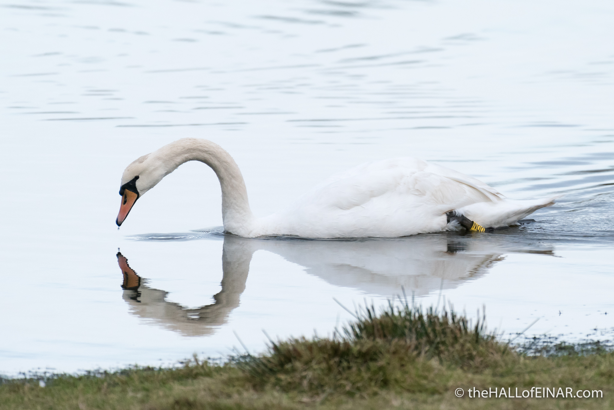 Mute Swan - forty years ago in my nature notebooks - The Hall of Einar - photograph (c) David Bailey (not the)