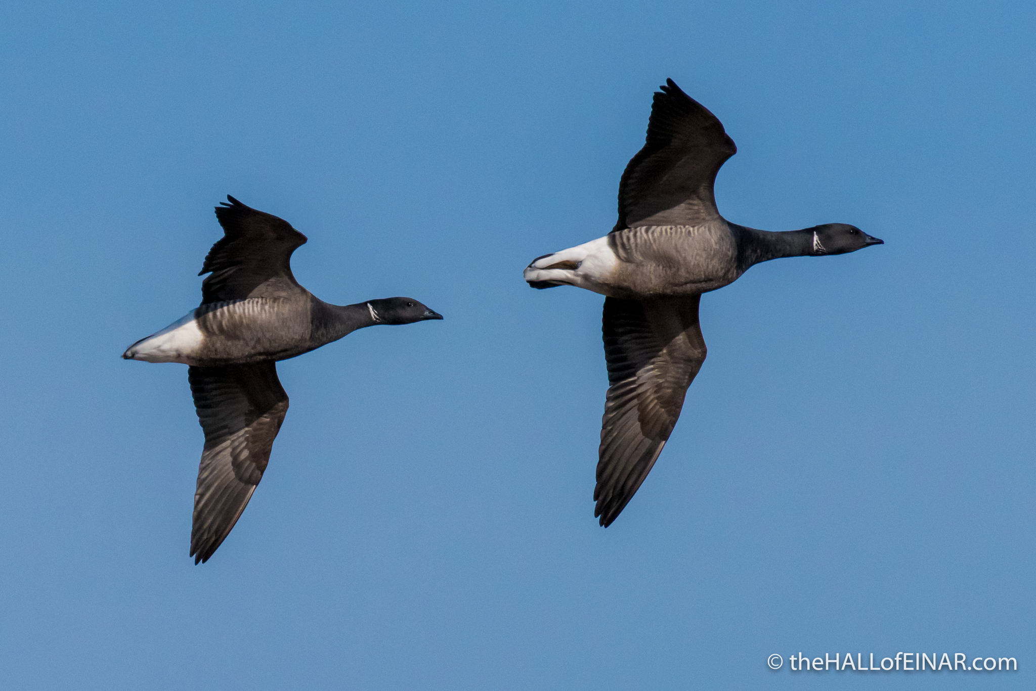 Brent Geese - The Hall of Einar - photograph (c) David Bailey (not the)
