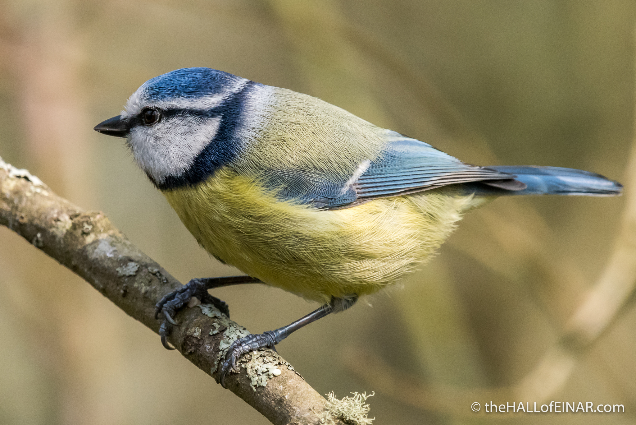 Blue Tit - The Hall of Einar - photograph (c) David Bailey (not the)
