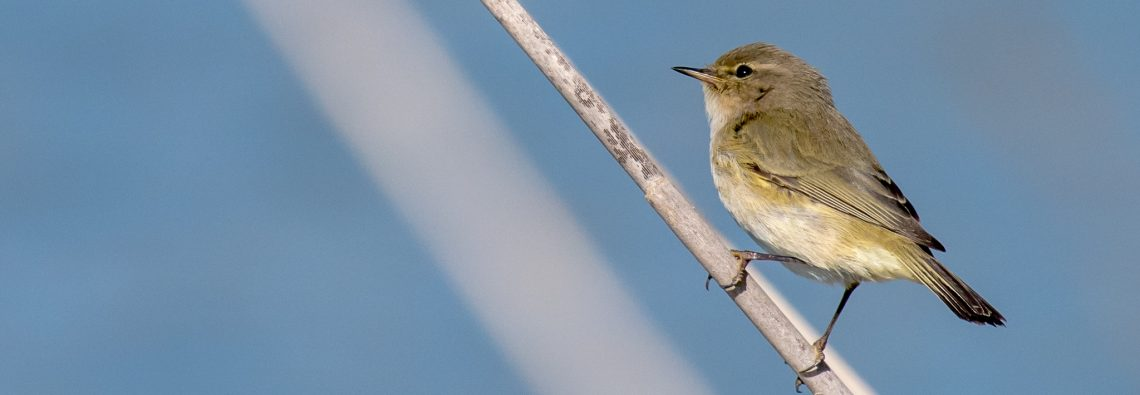 Chiff Chaff - The Hall of Einar - photograph (c) David Bailey (not the)