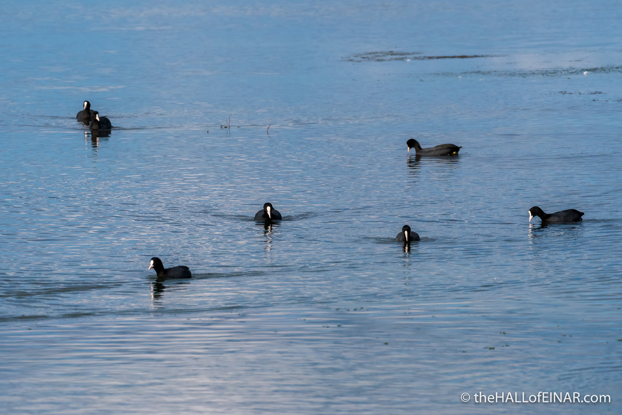Coots - The Hall of Einar - photograph (c) David Bailey (not the)