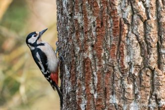 Female Great Spotted Woodpecker - The Hall of Einar - photograph (c) David Bailey (not the)