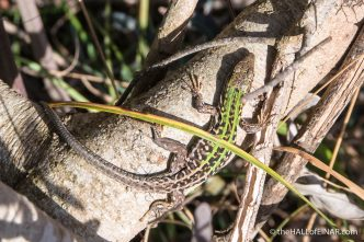 Italian Wall Lizard - The Hall of Einar - photograph (c) David Bailey (not the)