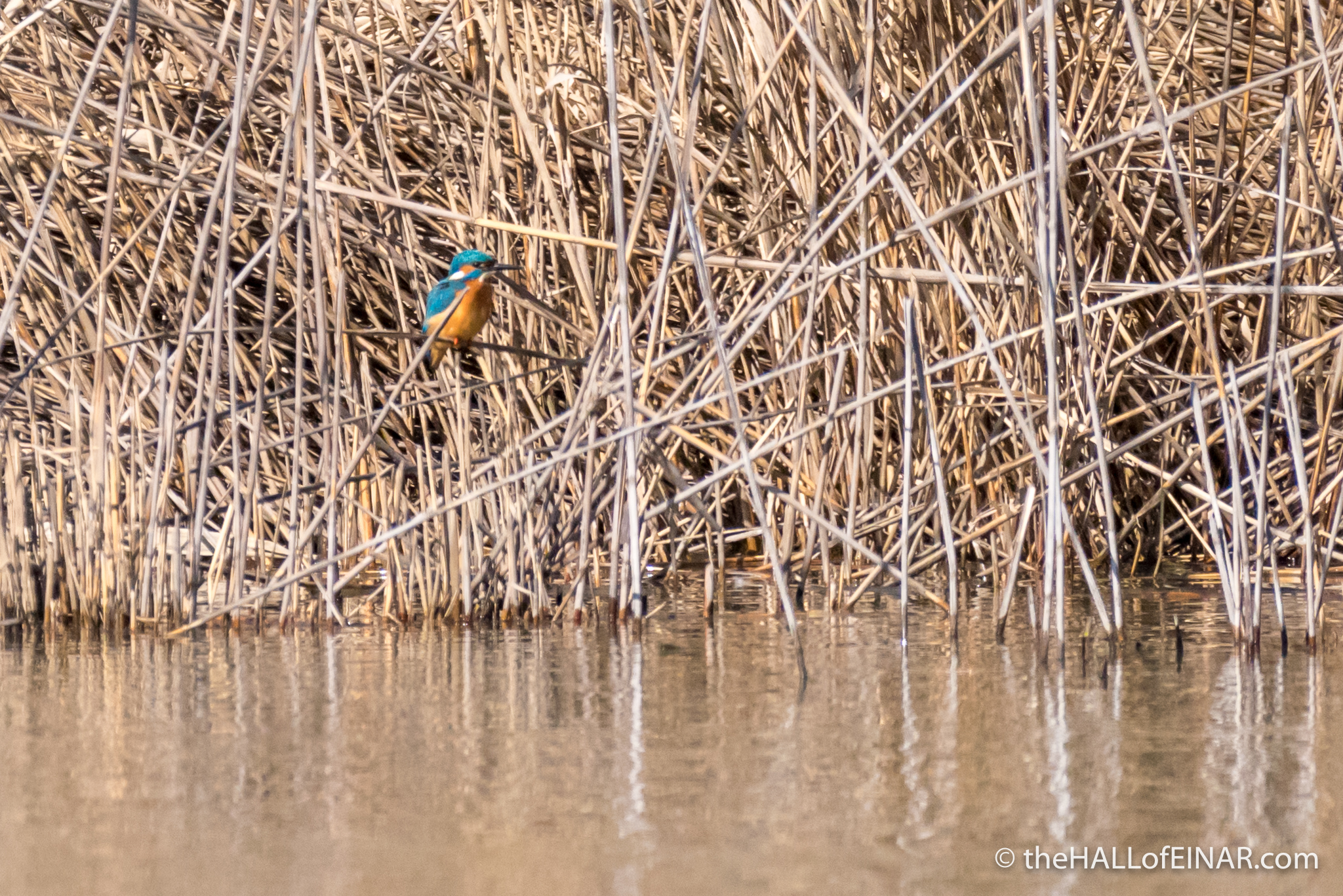 Kingfisher - The Hall of Einar - photograph (c) David Bailey (not the)