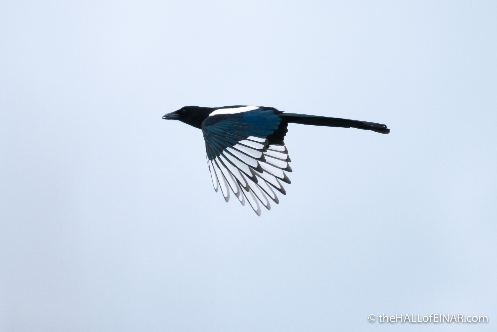 Magpie - The Hall of Einar - photograph (c) David Bailey (not the)