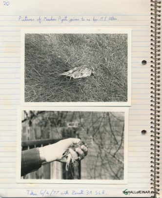 Meadow Pipit - The Hall of Einar - photograph (c) David Bailey (not the)